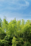 Bamboo with blue sky. Green bamboo forest and blue sky Royalty Free Stock Images