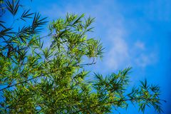 Bamboo on blue sky background stock photos