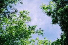 Bamboo on the blue sky. Forest in spring nature Royalty Free Stock Image