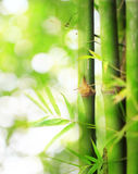 Bamboo boke. Green bamboo and boke background stock images