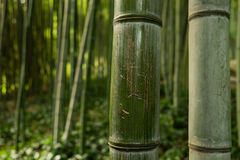 Bamboo at the Botanic Garden (Orto Botanico),Trastevere, Rome, Italy. Royalty Free Stock Photography