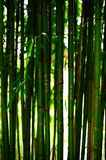 Bamboo. From Botanical Garden in Cambridge Stock Photos