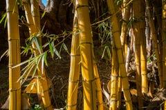 Bamboo in the Botanical Garden Chellah in Rabat, Morocco Stock Image
