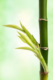 Bamboo branch Royalty Free Stock Photography