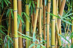 Bamboo branch in bamboo forest, beautiful green nature background Royalty Free Stock Photography