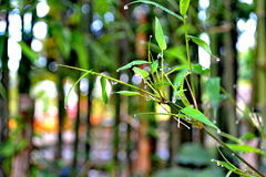 Bamboo branch with dew Stock Photography