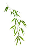 Bamboo branch with leaves on white Royalty Free Stock Photo