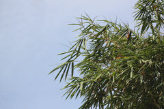 Bamboo branches on blue sky. Royalty Free Stock Photo