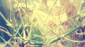 Bamboo branches with dew drops and sunrise early morning time. Bamboo branches with dew drops in morning  sunrise early morning time Stock Photo
