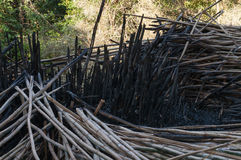 Bamboo branches fallen after burned. In bamboo groves. Bamboo trunks burned to ashes Royalty Free Stock Photography
