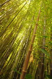 Bamboo branches. Branches of green bamboo forest Royalty Free Stock Image