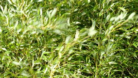 Bamboo branches. Moving in the wind stock video footage