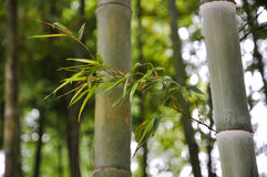 Bamboo branches in sunshine. Which was  in modern city Royalty Free Stock Photos