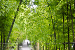 Bamboo branches in sunshine Royalty Free Stock Photo