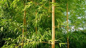 Bamboo In Breeze On Sunny Day. Dense bamboo plants moving in the wind stock video