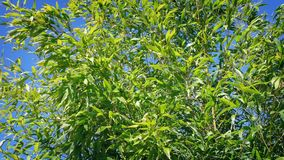 Bamboo In Breeze On Sunny Day. Dense bamboo plants moving in the wind stock video footage