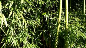 Bamboo In breeze on sunny day stock video