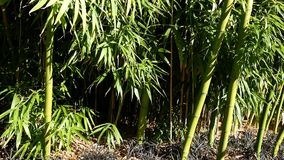 Bamboo in breeze on sunny day at Queen Elizabeth Park. Pan shot of bamboo in breeze on sunny day at Queen Elizabeth Park stock footage