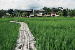 Bamboo bridge,Green field Stock Photo