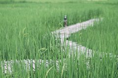 Bamboo bridge,Green field Stock Images
