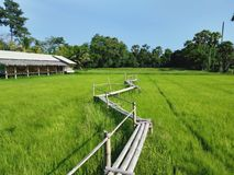 Bamboo bridge in the middle of rice fields royalty free stock photography