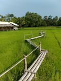 Bamboo bridge in the middle of rice fields royalty free stock photo