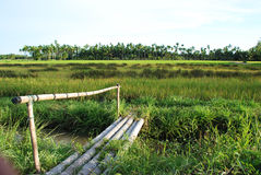 Bamboo bridge and rice field. Royalty Free Stock Photos