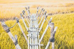 Bamboo bridge is vernacular structure Use the rope in construction filed into the green rice field.  royalty free stock photo