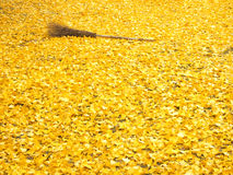 Bamboo broom and the ginko leaves. Carpet of Ginko leaves and the bamboo broom Stock Image
