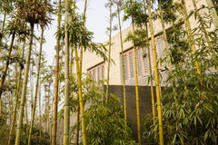 Bamboo before building with latticed windows in spring afternoon Royalty Free Stock Photo