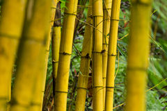 Bamboo (bumbusa vulgaris) Stock Photography