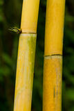 Bamboo (bumbusa vulgaris) Stock Photo