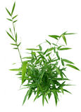 Bamboo Bush Stock Image