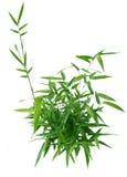 Bamboo Bush Stock Image