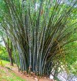 The bamboo bush Stock Photography