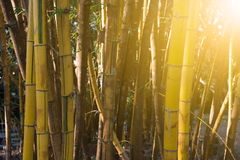 Bamboo bush in the park in autumn season Royalty Free Stock Photos