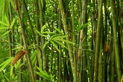 Bamboo Bushes. Japanese Garden View royalty free stock photography