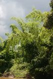 Bamboo bushes. Bamboos and a stormy sky, Oriente, Equador (Amazonia Royalty Free Stock Image
