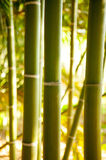 Bamboo cane field with selective focus Royalty Free Stock Photo