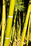 Bamboo cane field with selective focus Stock Image