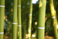 Bamboo cane green plantation Royalty Free Stock Photo