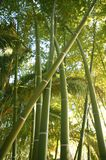 Bamboo cane green plantation Stock Images