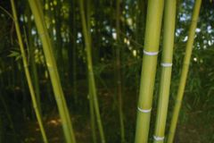 Bamboo cane green plantation Stock Photography