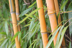 Bamboo cane and leaves Royalty Free Stock Photography