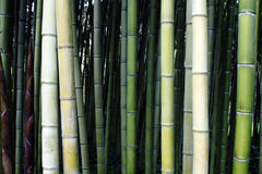 Bamboo canes Stock Image