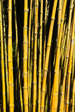 Bamboo Canes. Yellow Bamboo canes growing on the tropical island of Madeira Stock Images