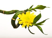 Bamboo and chrysanthemum Stock Photos
