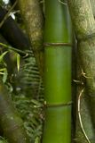 Bamboo close-up Stock Photography