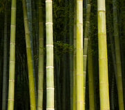 Bamboo close-up in the bamboo forest Royalty Free Stock Images