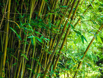 Bamboo close-up in the bamboo forest Stock Photos